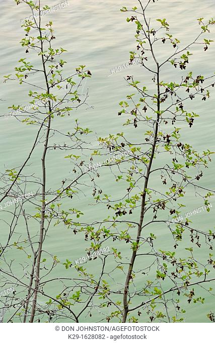 Poplars leafing out along the banks of the Athabasca River  Jasper NP, Alberta, Canada