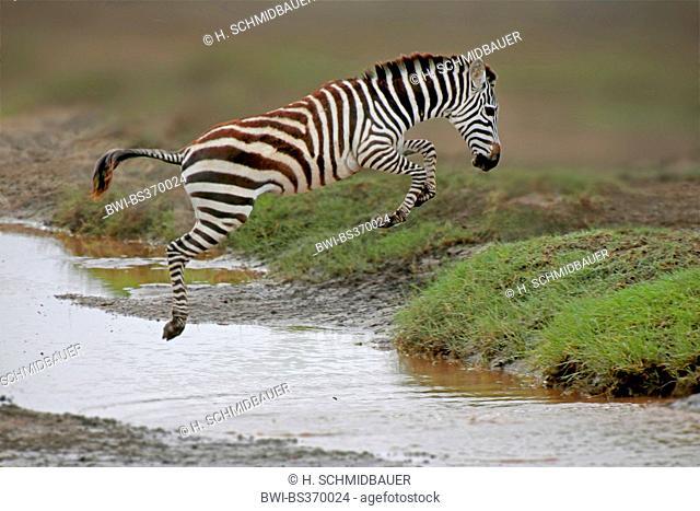 Common Zebra (Equus quagga), jumping over a creek, Tanzania, Serengeti National Park