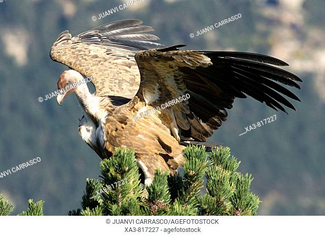 Bearded vulture Gyps fulvus landing on a pine