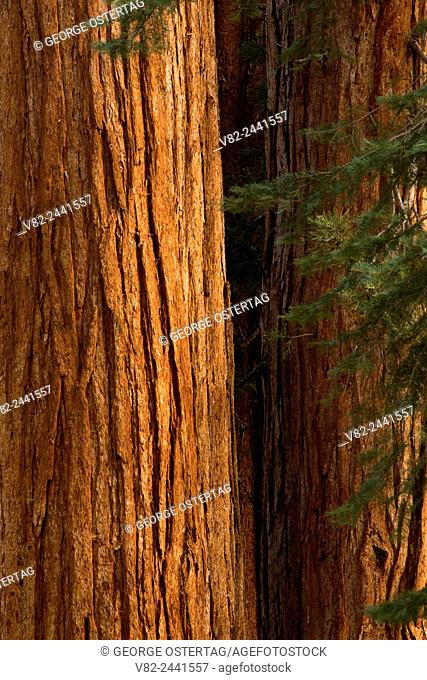 Sequoia in North Grove, Calaveras Big Trees State Park, Ebbetts Pass National Scenic Byway, California