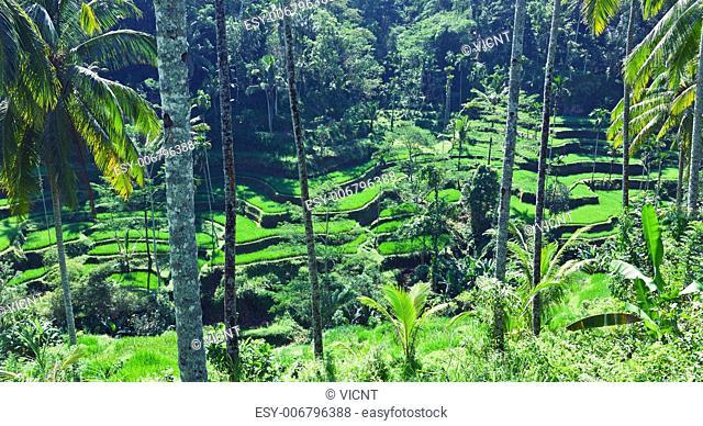 terrace rice fields, Bali, Indonesia