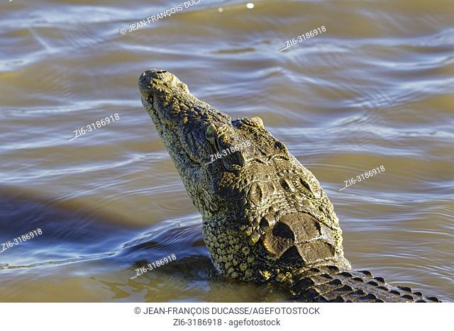 Nile crocodile (Crocodylus niloticus) in shallow water, head raised out of the water, Sunset Dam, Kruger National Park, Mpumalanga, South Africa, Africa