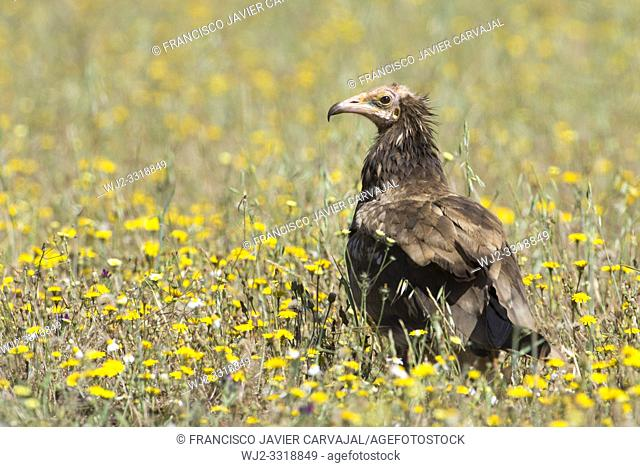 Egyptian vulture (Neophron percnopterus), among flowers in a meadow in Extremadura, Spain