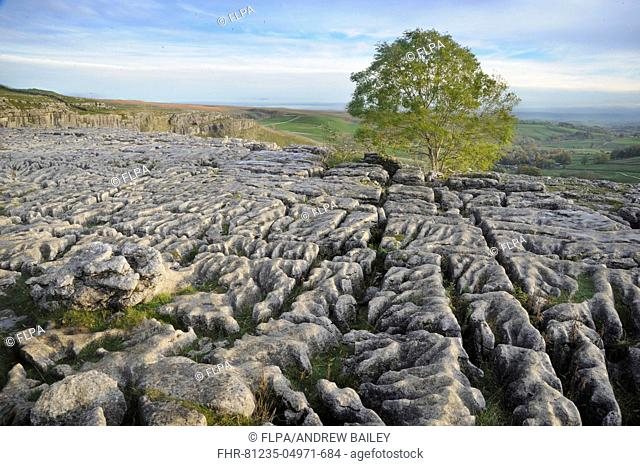 View of limestone pavement with Common Ash (Fraxinus excelsior), looking towards village in valley, Malham Cove, Malham, Yorkshire Dales N.P