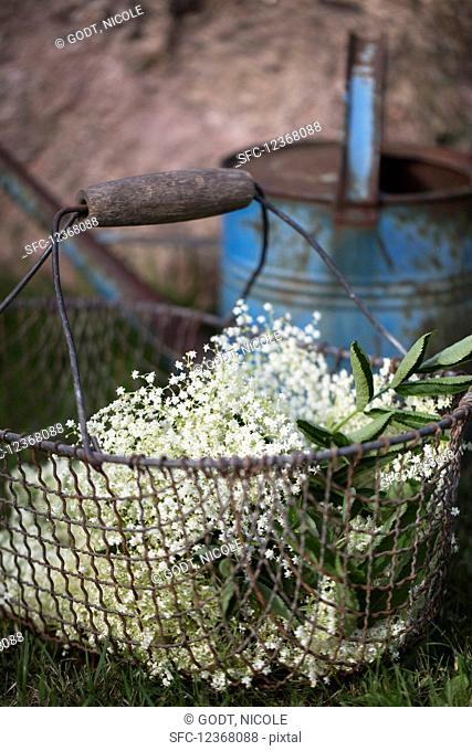 Fresh elderberry blossoms in wire basket in the grass