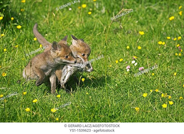 Red Fox, vulpes vulpes, Pup with a Wild rabbit in Mouth, Normandy