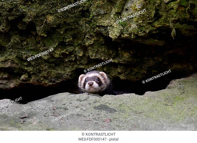 Germany, portrait of ferret
