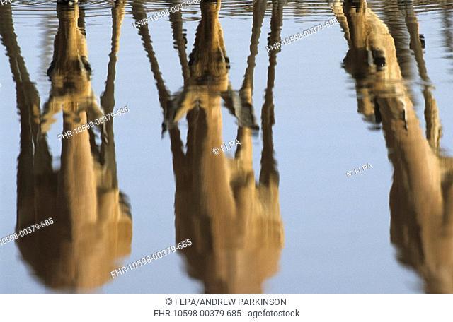 Impala Aepyceros melampus Three adults reflected in waterhole - Savuti, Chobe N P , Botswana