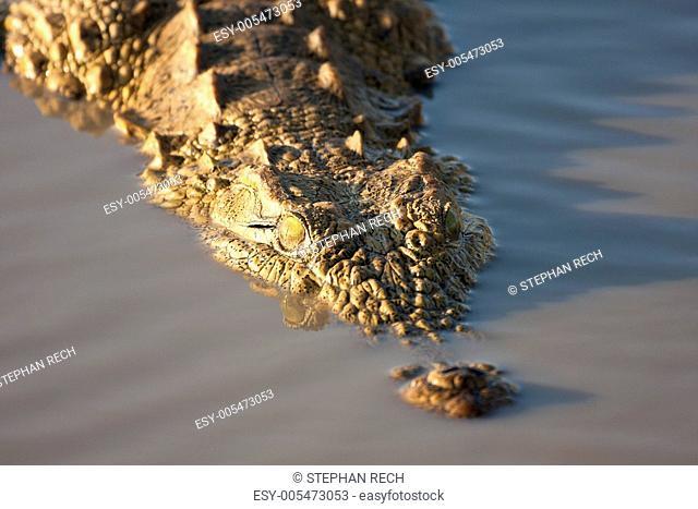 Krokodil Crocodilia