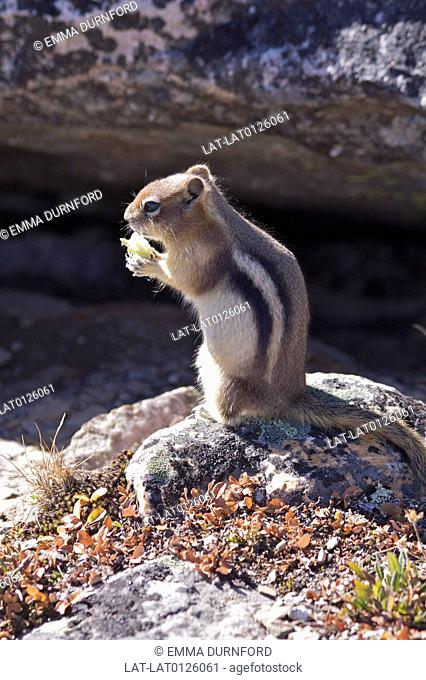 The Golden mantled Ground Squirrel is a common site in the area around Whistler mountain and tourists feed them and make them tame
