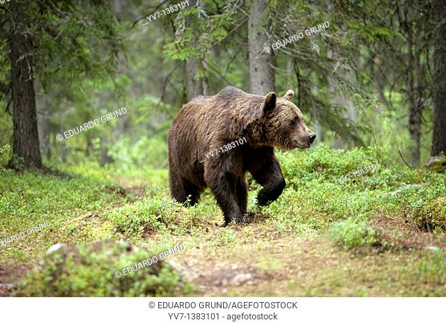European Brown Bear Ursus arctos, Finland