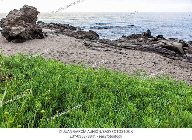 Crithmum maritimum, known as samphire at Wilches Beach, Torrox Coast, Malaga, Spain