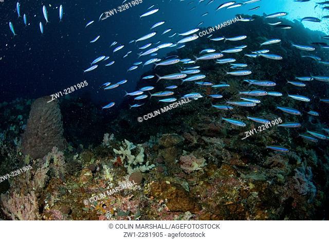 School of Bluestreak Fusiliers (Pterocaesio tile), Kadola dive site, Pulau Penyu, Banda Sea, Moluccas, Indonesia