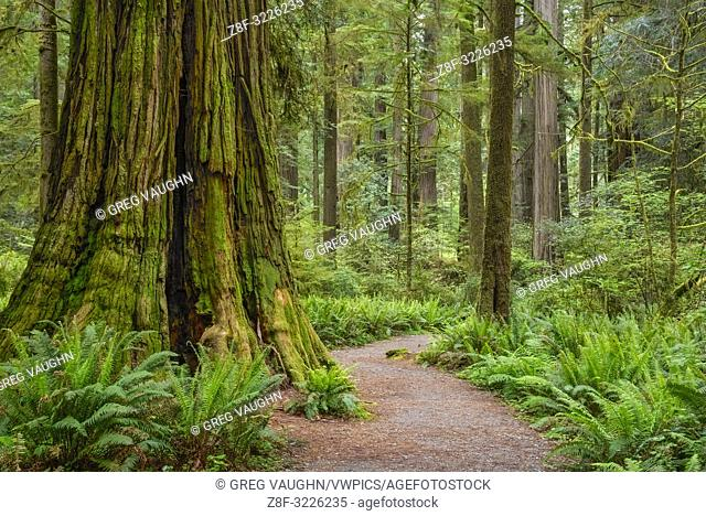 Trail through redwood trees in Simpson-Reed Grove, Jedediah Smith State Park, California