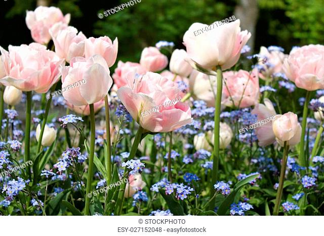 Pink tulips and Forget-me-nots at springtime