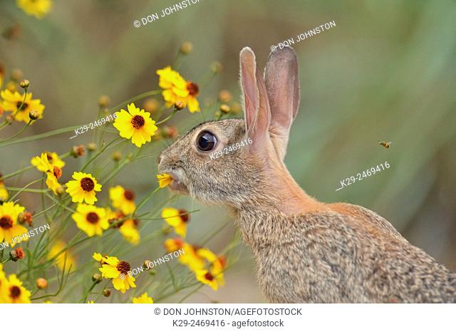 Desert Cottontail (Sylvilagus audobonii) Eating flower blossoms, Quinta Mazatlan, McAllen, Texas, USA