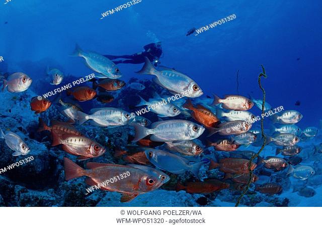 Scuba diver with school of fish, Priacanthus hamrur, Indian Ocean, Seychelles