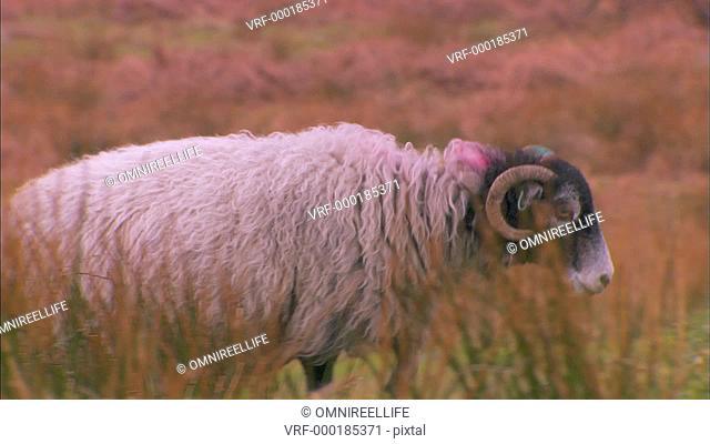 Swaledale ram walking through long grass