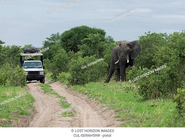 African elephant (Loxodonta africana) near safari jeep