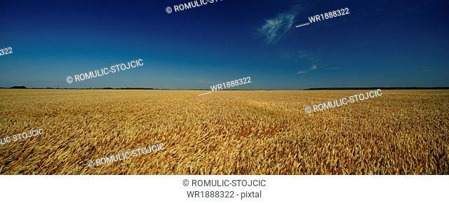 Wheat Field, Croatia, Slavonia, Europe