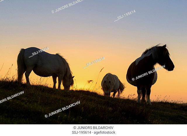Shetland Pony. Three mares grazing, silhouetted against the setting sun. Unst, Shetlands
