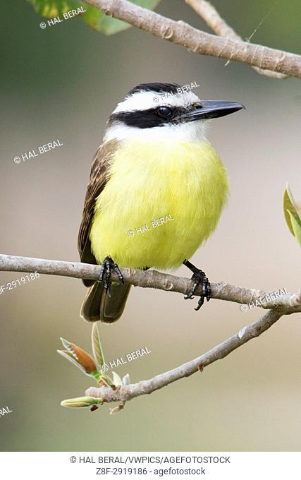 Greater Kiskadee (Pitangus sulphuratus) Pantanal, Brazil