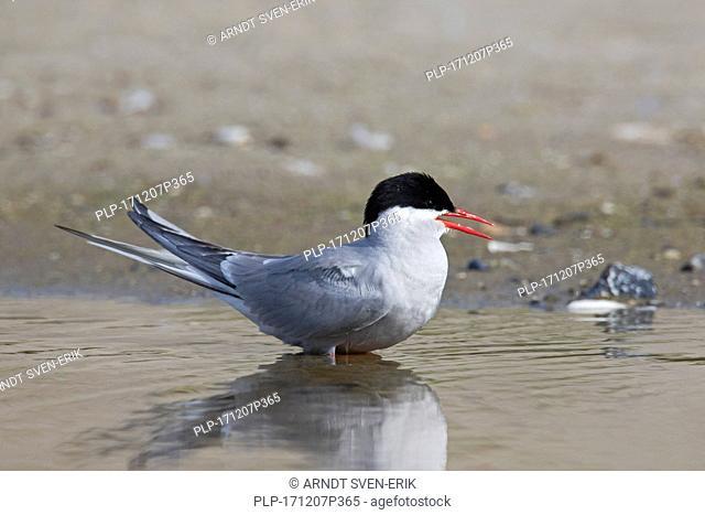 Arctic tern (Sterna paradisaea) in breeding plumage calling from beach in summer