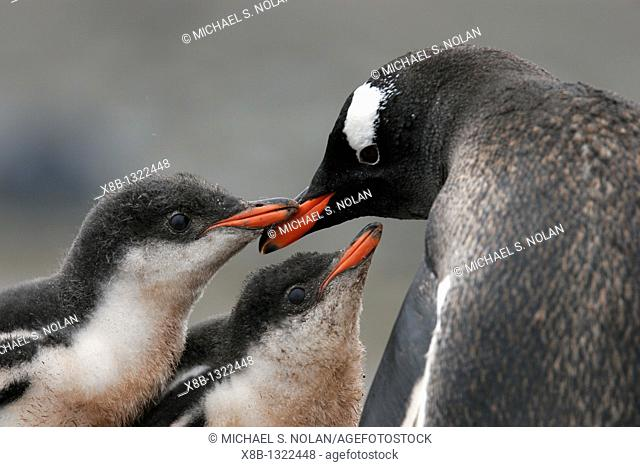 Gentoo penguin Pygoscelis papua parent feeding two downy chicks in the Aitcho Island Group near the Antarctic Peninsula