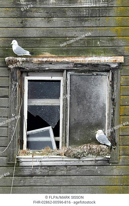 Black-legged Kittiwake Rissa tridactyla two adults, beginning new season nests on old harbour building, Northern Norway, march