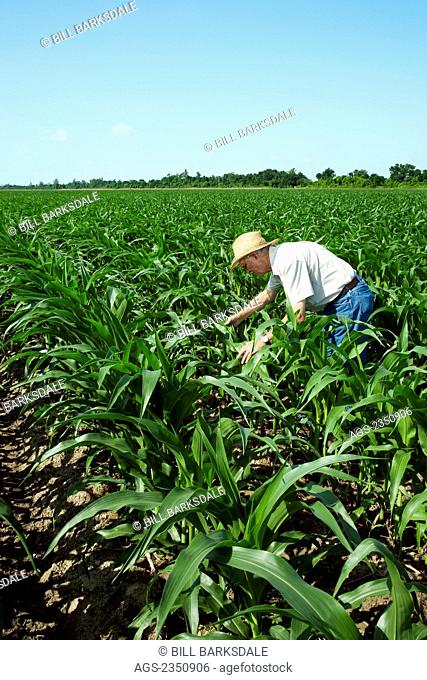 Agriculture - A farmer (grower) examines mid growth corn plants at the 12 leaf stage for insect pests and growth progress / near England, Arkansas, USA