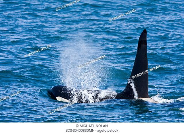 A pod of at least 8 Orcas Orcinus orca encountered off George Island near Inian Pass and followed until Lemesieur Island in Icy Strait