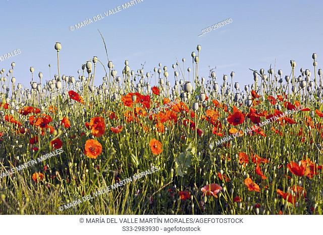 Poppy (papaver somniferum)field in La Rioja. Spain