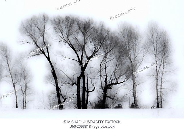 Leaveless Cottonwood trees appear in a stark winter scene in Idaho
