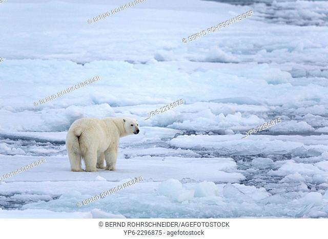 Polar Bear (Ursus maritimus) standing on ice floe, Erik Eriksenstretet, Svalbard