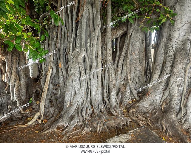 Banyan tree in Kailua-Kona on Hawaii Island