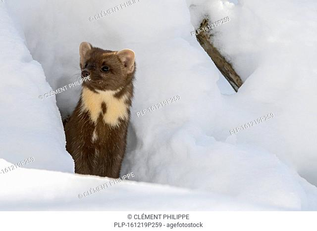 Close up portrait of European pine marten (Martes martes) emerging from gap while hunting in the snow in winter