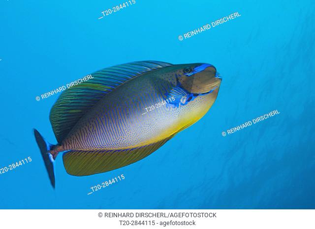 Bignose Unicornfish, Naso vlamingii, South Male Atoll, Maldives