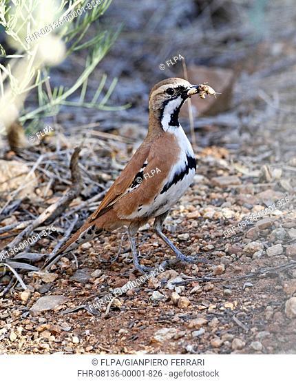 Cinnamon Quail-thrush (Cinclosoma cinnamomeum) adult, with insect prey in beak, Red Centre, Northern Territory, Australia, September