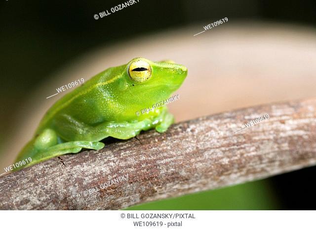 Green Tree Frog - Napo Wildlife Center - Yasuni National Park, Napo Province, Ecuador