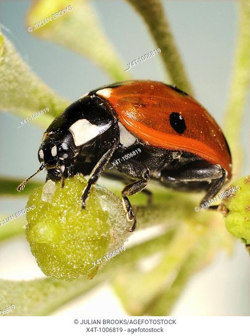 Seven-spot Ladybird Coccinella septempunctata on ivy flower