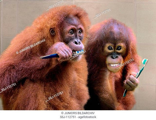 two young orang-utans with toothbrushes