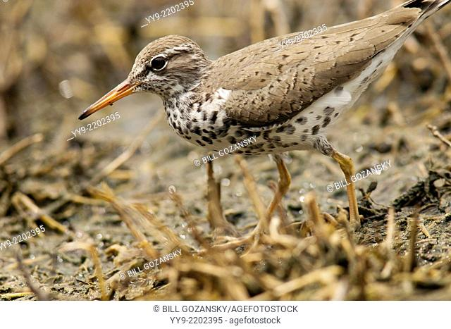 Spotted Sandpiper - Camp Lula Sams - Brownsville, Texas USA