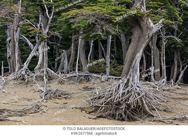 bosque de hayas australes, -Lenga-, Nothofagus pumilio, El Chalten, parque nacional Los Glaciares, republica Argentina,Patagonia, cono sur, South America