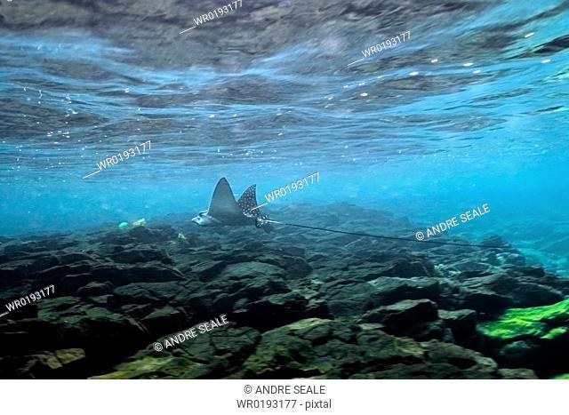 Spotted eagle ray, Aetobatus narinari, swimming close to surface, Fernando de Noronha, Pernambuco, Brazil rr