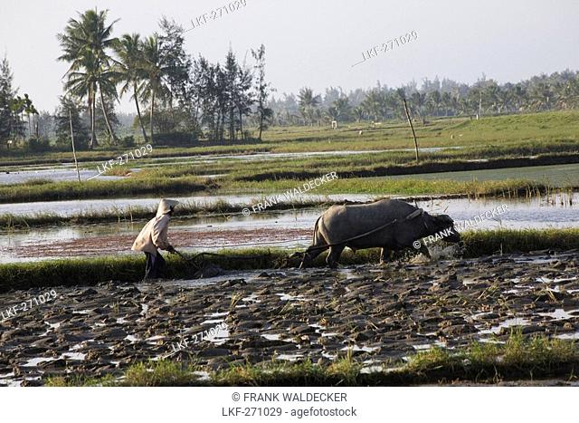 Farmer with water buffalo at a field, Quang Nam province, Vietnam, Asia