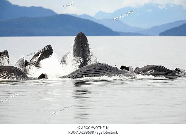 Humpback Whales, bubble net feeding, Alaska, USA / Megaptera novaeangliae
