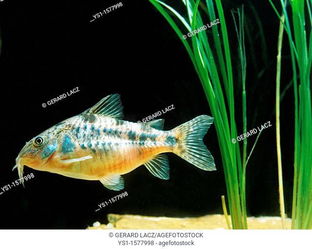 Bronze Cory or Bronze Catfish, corydoras aeneus