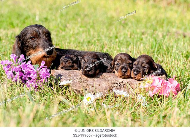Wire-haired Dachshund. Bitch with puppies on a meadow behind a log. Germany