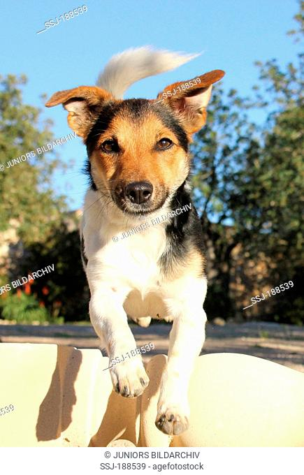 Jack Russell Terrier jumping over a column lying on the ground. Spain