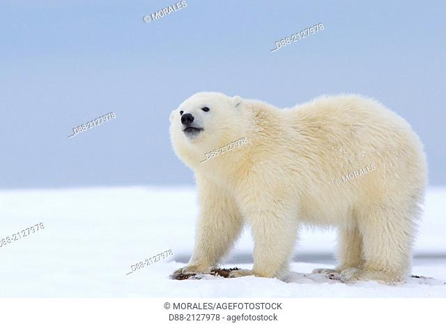 United States,Alaska,Arctic National Wildlife Refuge,Kaktovik,Polar Bear( Ursus maritimus),yearling along a barrier island outside Kaktovik,Every fall